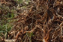Close-up of a group of coffee rooted in disorderly tangle in the soil, which is taken from the earth. Brazil stock image