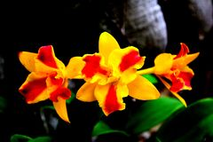 Close up group of colorful orchid on branch. Red and yellow flower Stock Photos