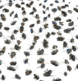 Close-up of a group of dead flies, isolated. On white royalty free stock images