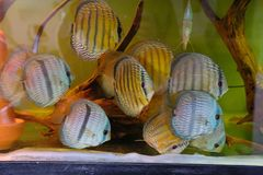 Close up of group of Discus fish in tropical aquariums. Close up of stunningly pretty Discus group of fish in tropical waters of aquarium freshly shipped from royalty free stock photo
