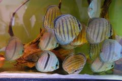 Close up of group of Discus fish in tropical aquariums. Close up of stunningly pretty Discus group of fish in tropical waters of aquarium freshly shipped from royalty free stock images