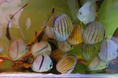 Close up of group of Discus fish in tropical aquariums. Close up of stunningly pretty Discus group of fish in tropical waters of aquarium freshly shipped from royalty free stock photos