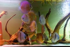 Close up of group of Discus fish in tropical aquariums. Close up of stunningly pretty Discus group of fish in tropical waters of aquarium freshly shipped from royalty free stock photography