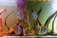 Close up of group of Discus fish in tropical aquariums. Close up of stunningly pretty Discus group of fish in tropical waters of aquarium freshly shipped from royalty free stock image