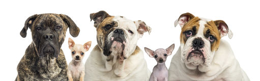 Close-up of a group of dogs, isolated Stock Photo
