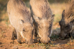 Close up of a group of eating Warthogs. Close up of eating Warthogs in the Pilanesberg National Park, South Africa Royalty Free Stock Image