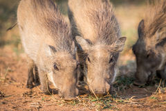 Close up of a group of eating Warthogs. Stock Photos