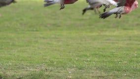 Close up group gang-gang cockatoos flying away in slow motion in Kalbarri, Western Australia stock video