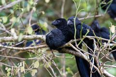 Groove-billed ani  - Crotophaga sulcirostris. Close up of a group of groove billed anis perched on a small branch in the rainforest of Costa Rica Stock Photography