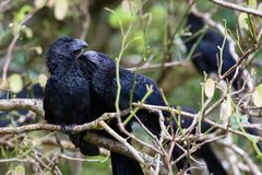 Groove-billed ani  - Crotophaga sulcirostris. Close up of a group of groove billed anis perched on a small branch in the rainforest of Costa Rica Royalty Free Stock Photography