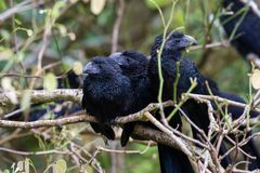 Groove-billed ani  - Crotophaga sulcirostris. Close up of a group of groove billed anis perched on a small branch in the rainforest of Costa Rica Royalty Free Stock Image