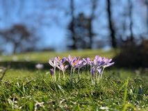 Close up of a group of lilac crocus in bloom in a park. In the sunlight stock photo