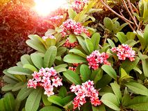 Close up group of pink plumeria flower on branch tree royalty free stock photo
