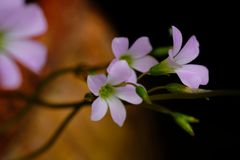 Close up purple or light violet flower without leaves. Close up a group of purple or light violet flower without leaves stock photos