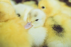 Close up group of small duckling Stock Photos