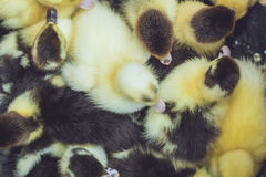 Close up group of small duckling Royalty Free Stock Image