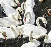 Close-up of a group of swans in the river Alster Stock Photography