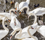 Close-up of a group of swans in the river Alster Stock Images