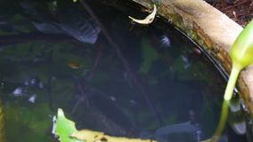 Close up group of Tadpoles. stock video