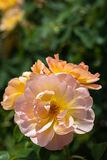 Close-up of a group of three pale pink and yellow `The Lark Ascending` hybrid shrub roses in garden with green leaves in bl stock photo