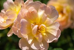 Close-up of a group of three pale pink and yellow `The Lark Ascending` hybrid shrub roses in garden with green leaves in bl stock images