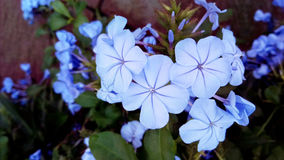 Close up the group of white plumbago Royalty Free Stock Photos