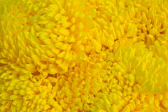 Close-up a group of yellow Chrysanthemum Royalty Free Stock Photo
