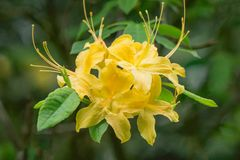 Close-up of a  group of Yellow Flame Azalea Flowers – Rhododendron calendulaceum Royalty Free Stock Photography