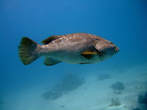 Close-up grouper. In the blue stock photography