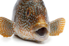 Close up of a grouper fish Royalty Free Stock Photography