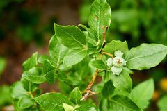 Close up from growing blueberries. Close up from green growing blueberries with leaves in the background stock illustration