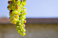 Close up of growing green grapes Royalty Free Stock Images