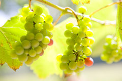 Close up of growing green grapes on vine Stock Photo