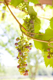 Close up of growing green grapes on vine Stock Images