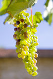 Close up of growing green grapes on vine Royalty Free Stock Image