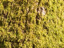 close up of growing green moss lichen algae on tree bark surface Royalty Free Stock Photography