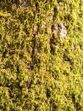 close up of growing green moss lichen algae on tree bark surface Stock Photos