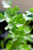 Close-up of growing parsley Royalty Free Stock Photo