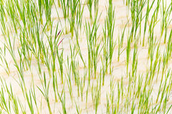 Close up growing rice in field  water rice field Royalty Free Stock Photo