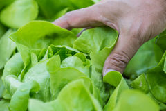 Close up of Growing salad lettuce with hand picking in vegetable Stock Photos
