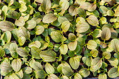Close up of Growing salad lettuce in nursery pots, top view Stock Photos