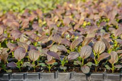 Close up of Growing salad lettuce in vegetable garden Royalty Free Stock Photography