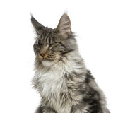 Close-up of a grumpy Maine Coon Stock Photography