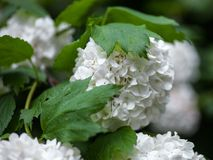 Close up of the guelder rose white flowers Royalty Free Stock Images