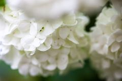 Close up of the guelder rose white flowers Stock Image
