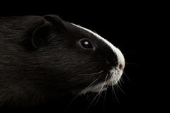 Close-up Guinea pig on isolated black background. Close-up Head Guinea pig with White nose on isolated black background with reflection Stock Photography