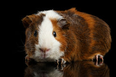 Close-up Guinea pig on isolated black background Stock Photo