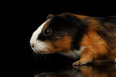 Close-up Guinea pig on isolated black background Stock Photos