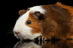 Close-up Guinea pig on isolated black background Royalty Free Stock Image