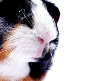 Close-up guinea pig portrait isolated on white. CLose-up portrait of a pet guinea pig head isolated on white Stock Photography
